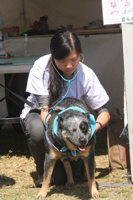 A supervised vet student examines a kelpie Photo: Peter Murphy
