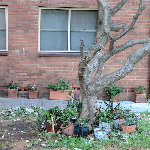 30 year old frangipani planted by a current resident's grandmother. Photo: Fiona Poeder