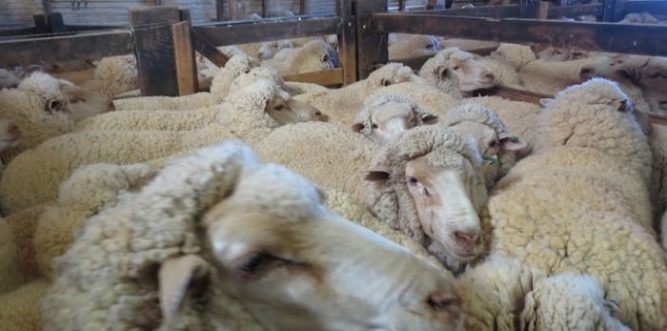 Appalling conditions on board a standard long-haul live export voyage from Australia to the Middle East. Photo: PETA