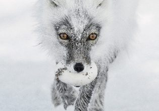 The Arctic fox with an egg. Photo: Sergy Gorshkov, Russia finalist, Wildlife Photographer of the Year